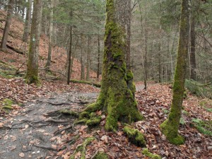 A mossy tree in the gorge at Fillmore Glen State Park, Moravia, Cayuga County, NY, Finger Lakes