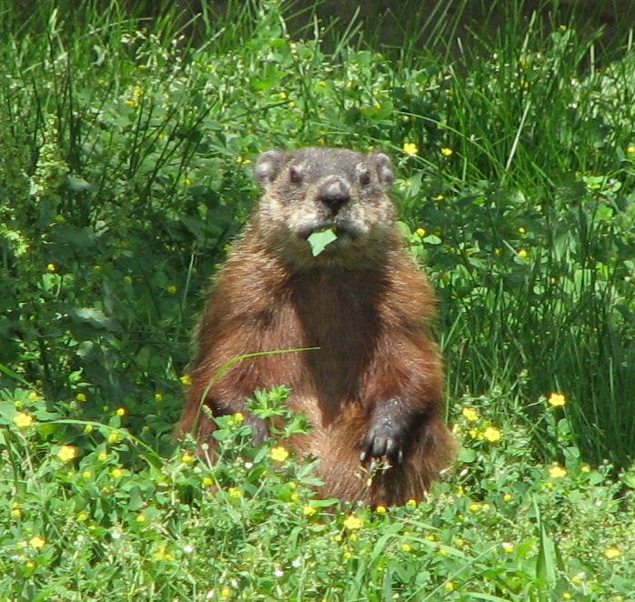 Groundhog or woodchuck, Marmota monax