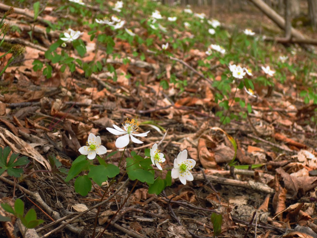 Rue anemone wildflower, Buttermilk Falls State Park, Ithaca, NY