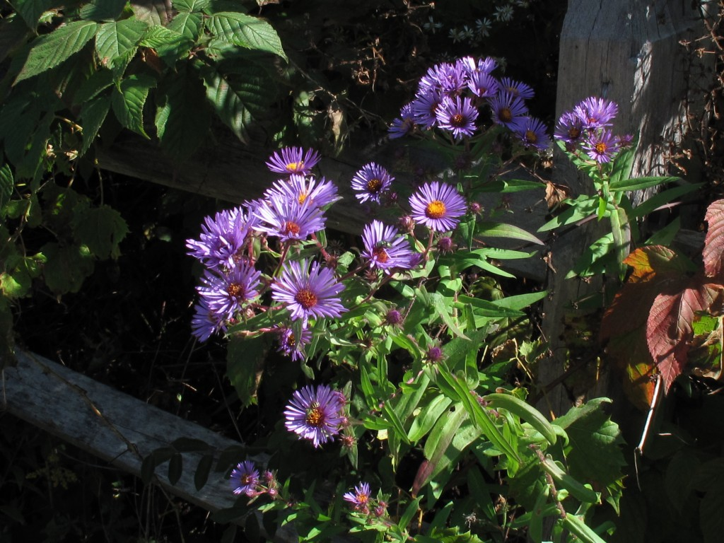 New England aster wildflower, Ellis Hollow Nature Preserve, Finger Lakes Land Trust, near Ithaca, NY in the Town of Dryden