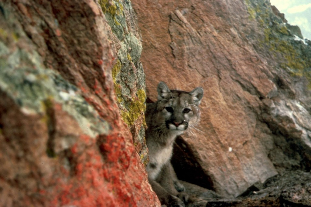 Mountain_lion_(1)