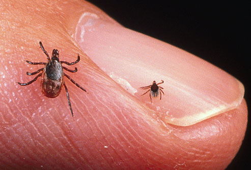 getty_rm_photo_of_adult_and_nymph_tick